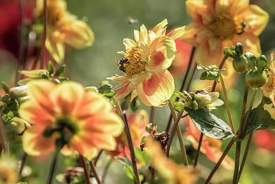 Photograph - Dahlia Summer Rhapsody by Belinda Greb