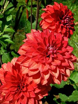 Photograph - Dahlia Trio In Red  by Suzanne McDonald
