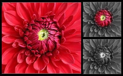 Photograph - Dahlia In Red And Black- A Triptych by Dora Sofia Caputo Photographic Design and Fine Art