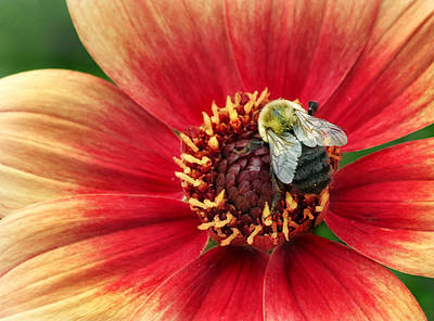 Photograph - Dahlia With Bee by Carolyn Derstine