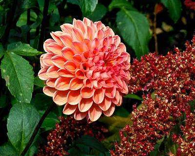 Photograph - Dahlia Zen Days  by Suzanne McDonald