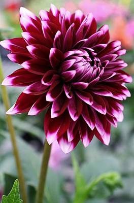 Photograph - Dahlia1 by Bruce Bley