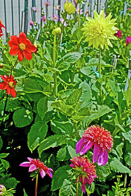 Photograph - Dahlias By A Fence In Golden Gate Park In San Francisco, California  by Ruth Hager