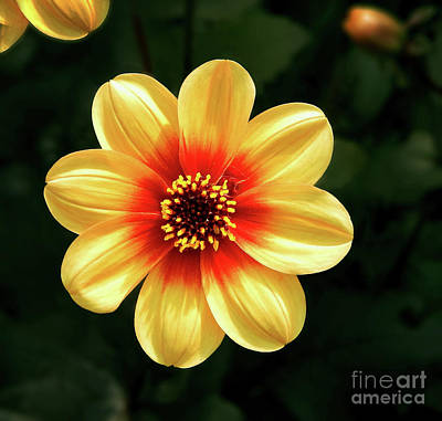 Photograph - Dahlias Flower - Yellow Tones by Dave Nevue