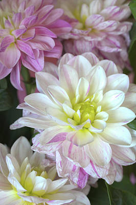 Photograph - Dahlias In Full Bloom by Jade Moon
