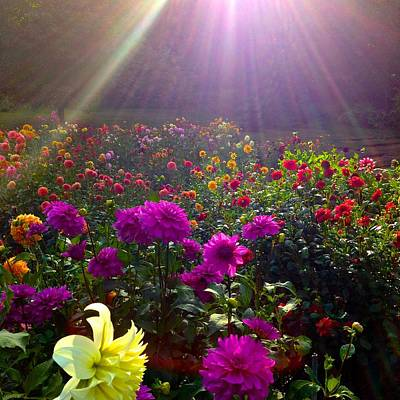 Dahlias Kissed By Sun-rays  Art Print