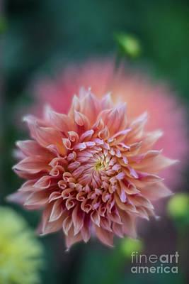 Of Dahlia Photograph - Dahlias Orange Flourish by Mike Reid