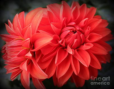 Photograph - Dahlias Radiant In Red by Dora Sofia Caputo Photographic Art and Design