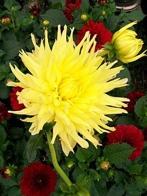 Photograph - Dahlia's by Sharon Duguay