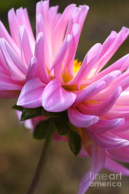 Photograph - Dahlia's Shy by Joy Watson