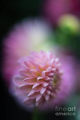Of Dahlia Photograph - Dahlias Soft Crescendo by Mike Reid