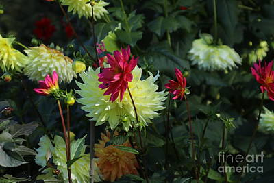 Photograph - Dahlias by Marcia Lee Jones