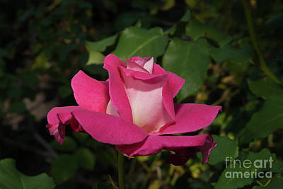 Photograph - Dainty Bon-bon Rose by Glenn Franco Simmons