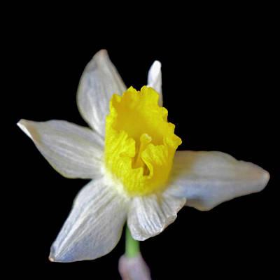 Photograph - Dainty Daffodil On Black by Lynda Anne Williams