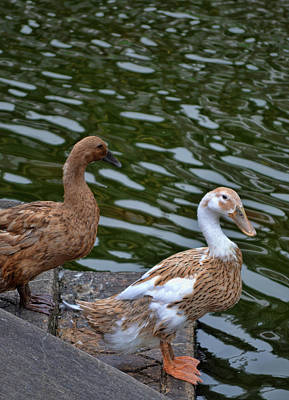 Photograph - Dainty Ducks by JAMART Photography