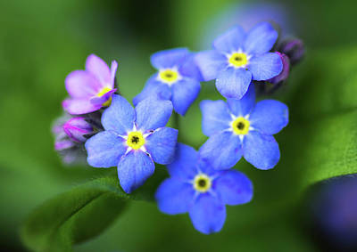 Photograph - Dainty Forget-me-nots by Carolyn Derstine