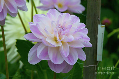 Photograph - Dainty Porcelain Dahlia by Glenn Franco Simmons