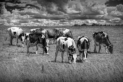 Photograph - Dairy Cattle Pasture Grazing In Black And White by Randall Nyhof
