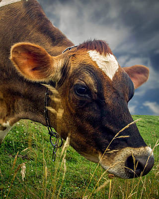 Adorable Photograph - Dairy Cow Eating Grass by Bob Orsillo