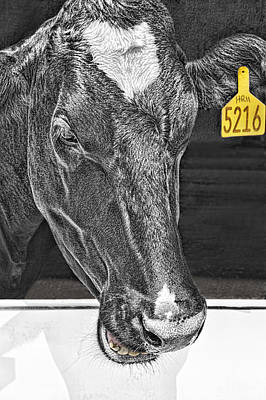 Dairy Cow Number 5216 Print by Mitch Spence