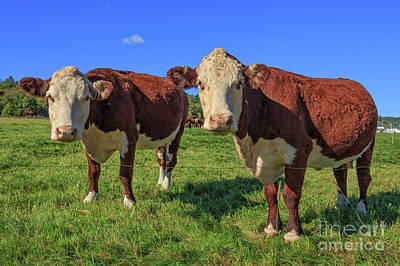 New Hampshire Photograph - Cattle Andover New Hampshire by Edward Fielding