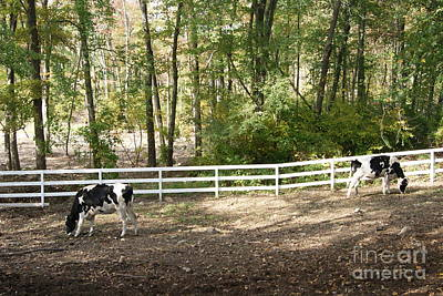 Photograph - Dairy Cows by Margie Avellino