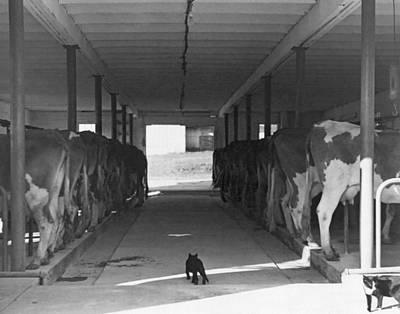 Dairy Farming Barn Scene Art Print by Underwood Archives