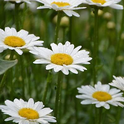 Photograph - Daisies  by Eve Tamminen