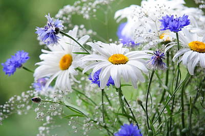 Photograph - Daisies And Cornflowers by Jenny Rainbow