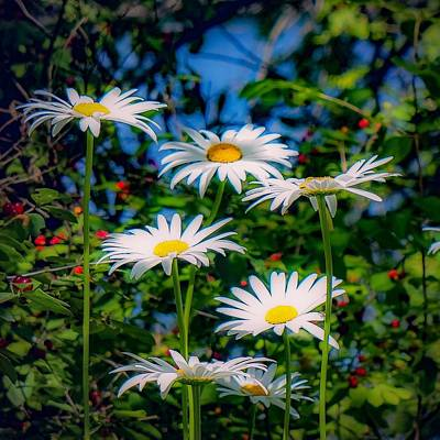 Photograph - Daisies And Friends by Kendall McKernon