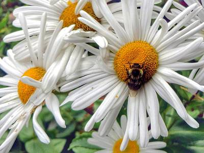 Photograph - Shastas Daisies And The Honeybee by Anne Sands