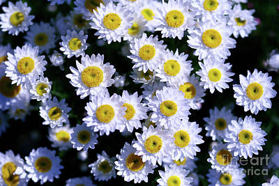Daisies Are Like Sunshine To The Ground. Art Print by Fir Mamat