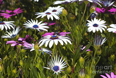 Photograph - Daisies Are Under My Feet  by Joy Watson