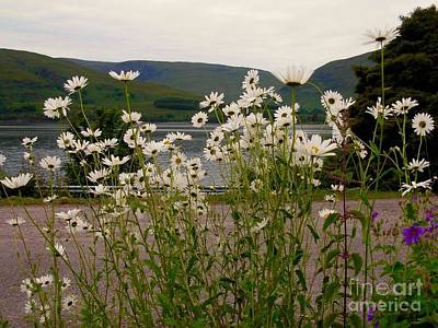 Photograph - Daisies At The Roadside At Loch Linnhe by Joan-Violet Stretch