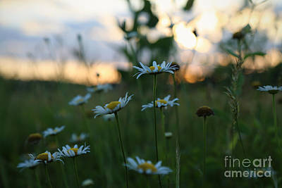 Photograph - Daisies At Yorktown by Lara Morrison