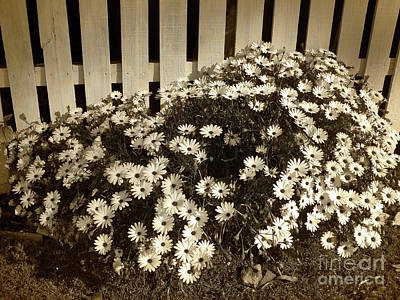 Photograph - Daisies By The Fence By Kaye Menner by Kaye Menner