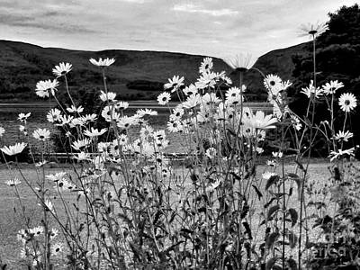 Photograph - Daisies By The Roadside At Loch Linnhe B W by Joan-Violet Stretch