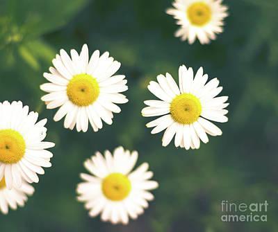 Photograph - Daisies by Cheryl Baxter