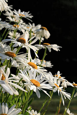 Photograph - Daisies by Dorothy Cunningham
