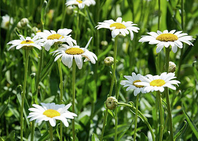 Photograph - Daisies by Ed Waldrop