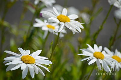 Photograph - Daisies Galore by Carol Eliassen