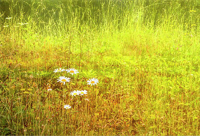 Photograph - Daisies by Gordon Ripley