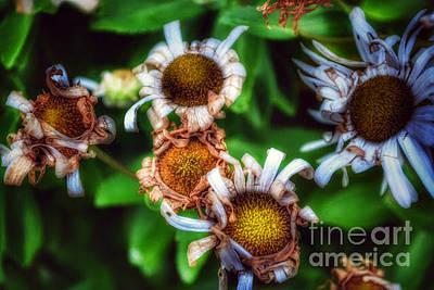 Photograph - Daisies In Autumn by Miriam Danar