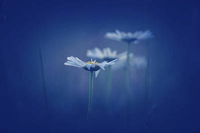 Photograph - Daisies In Blue by Shane Holsclaw