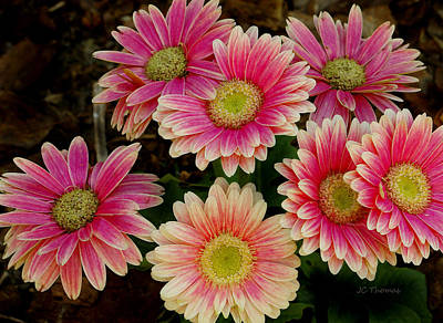 Photograph - Daisies In Pink by James C Thomas