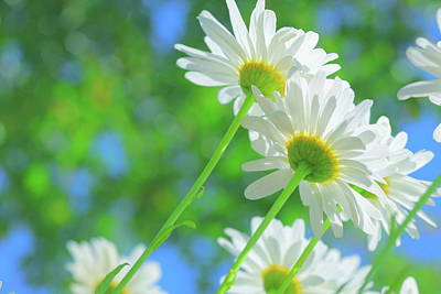 White Flowers Photograph - Daisies In Sunlight by Poppy Thomas-Hill