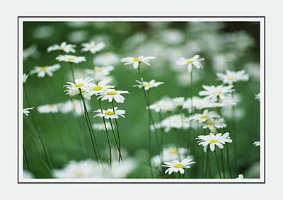 Photograph - Daisies In The Meadow Of Green Wall Art by Georgiana Romanovna