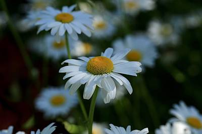 Photograph - Daisies In The Morning by Lynn Hopwood