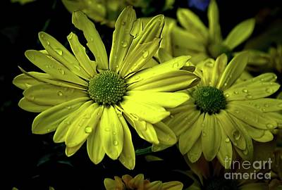 Photograph - Daisies In The Rain by Diana Mary Sharpton