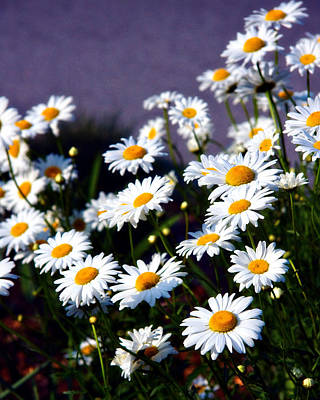 Photograph - Daisies by Lana Trussell